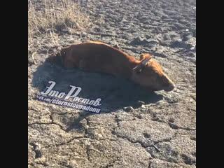 Корова увязла в грязи. Ростовская область - Это Ростов-на-Дону!