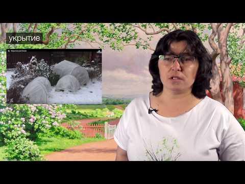 Обзор рододендронов: финские зимостойкие сорта