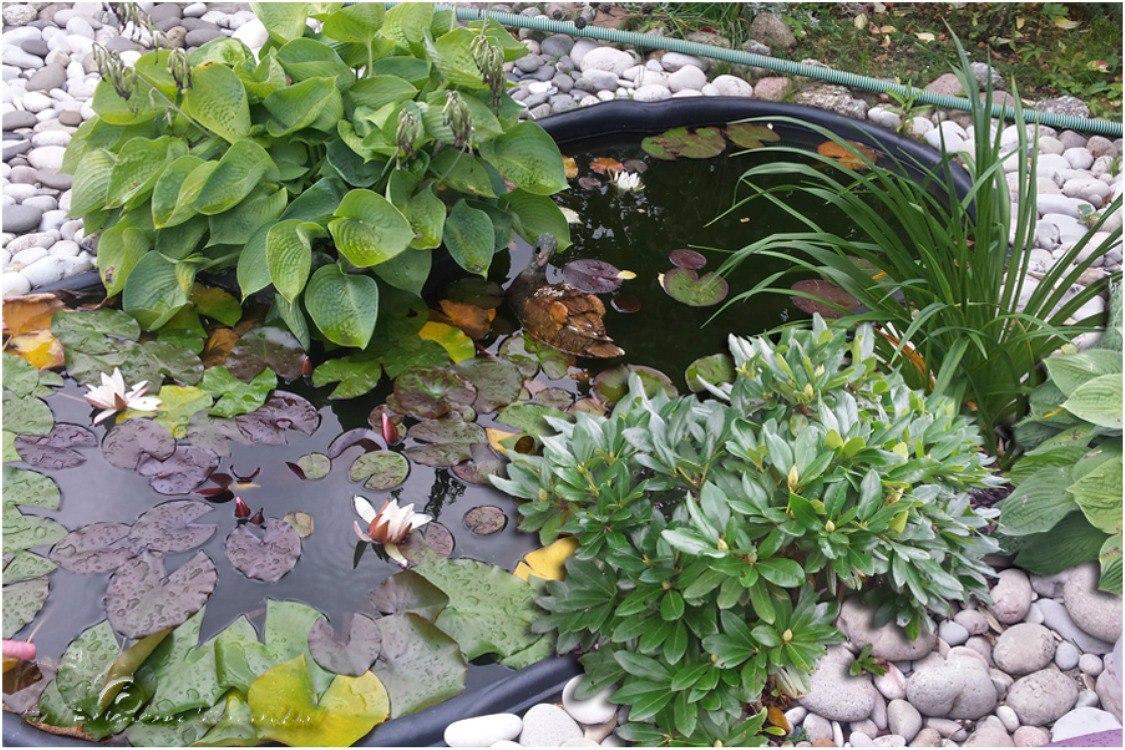 Рододендроны в саду, с чем сажать рододендрон: новопосадка
