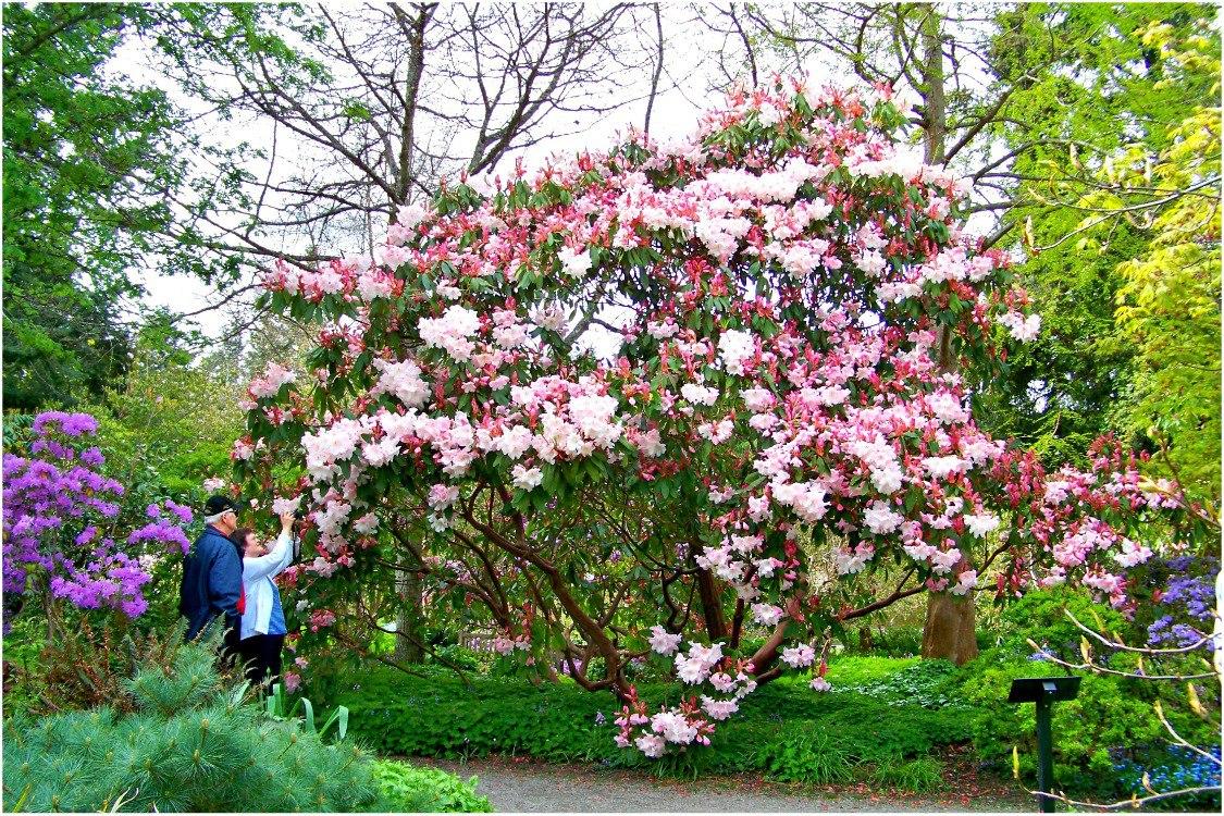 Рододендроны в саду, с чем сажать рододендрон