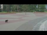 Медведь в Архангельске.