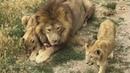 Маленькая львица Софа забрала мясо у дяди Льюиса. Тайган. Крым