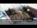 Кошка усыновила восьмерых ёжиков-сирот