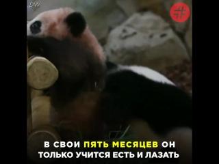 Во французском зоопарке детеныш панды впервые появился на публике