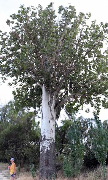 Обалденные деревья — фишка Крыма.