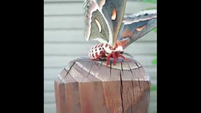 Это павлиноглазка цекропия самый яркий и крупный мотылек в Северной Америке