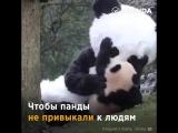 Воспитатели панд