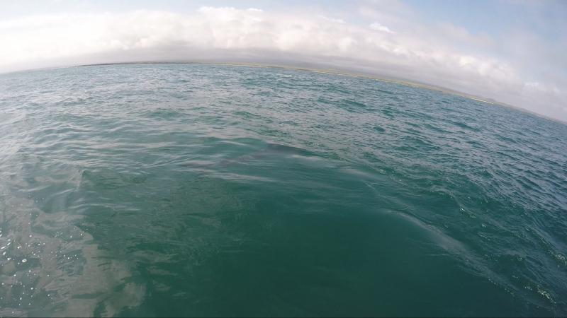 Тигровая акула. Галапагосы