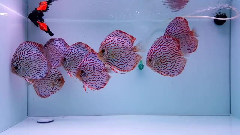 Красные Туркисы альбиносы от DiscusShops