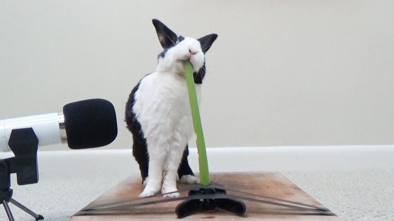 Rabbit eating crunchy celery! ASMR