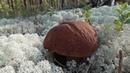 Первые боровики. Поход за грибами 26.08.18 1/3 часть.