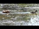 Рыжий Охотник Урай-Патриот (Шмель х Лада) 1 год 10 месяцев