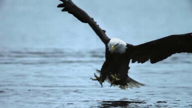 Bald Eagle Catches A Salmon
