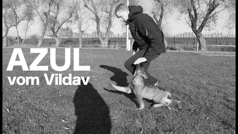 Azul vom Vildav - short obedience 3 months