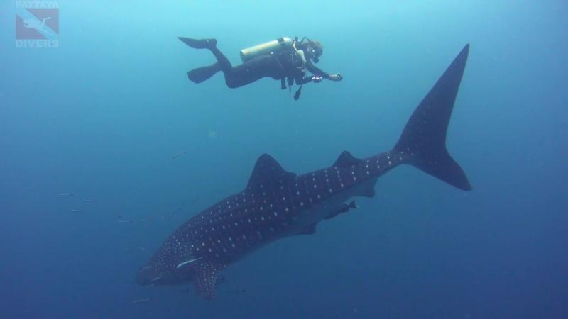 Вокруг Chang wreck с китовой акулой Дайвинг на Ко Чанге Таиланд