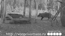 Охота на кабана с засидки Hunting for boar from ambush