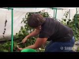 Как урожайность перцев зависит от объема горшка в рассаде
