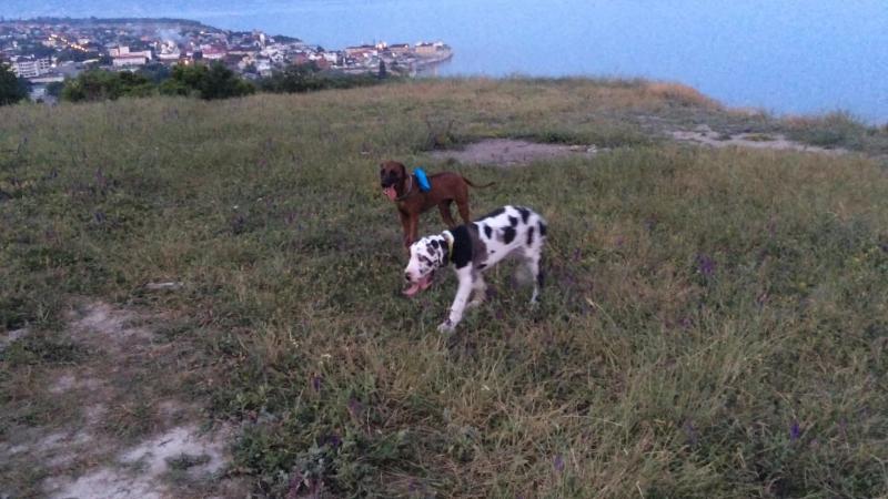 Собака с шагомером