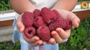 Вот что нужно сделать чтобы малина была крупной Дачные советы и хитрости для выращивания урожая