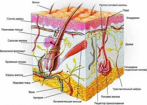 Мин Здравоохранения Дипломная работа Страница Форум  Кожа и клетки Кожа защищает тело человека от широкого спектра кожа представляет рецептивное тело различных поверхностей