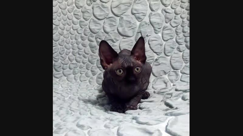 Cloe Axus Mundi. Кошечка чёрного окраса. Свободна для резервирования.