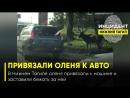 В Нижнем Тагиле оленя привязали к машине и заставили бежать за ней