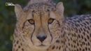 Nat Geo Wild Чудо-гепард 1080р