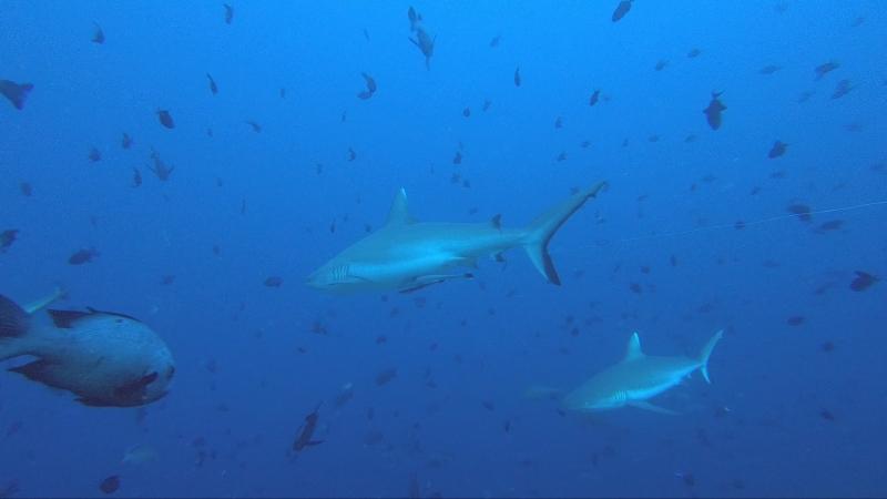 Рыбный суп с акулами