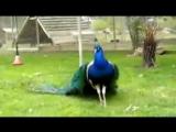 WhatsApp Good Morning Video - Amazing Peacock Dance_low.mp4