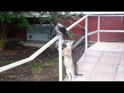 Ворона получила по заднице от кошки