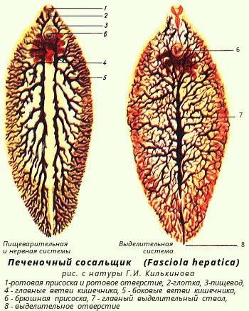 Сосальщики или трематоды строен