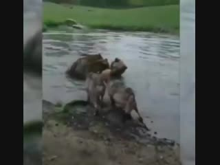 Медведи убивают волка - хищников разместили в зоопарке в одном вольере. Зравствуй зоошиза!