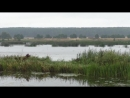 Гуси-лебеди в Воложинском районе
