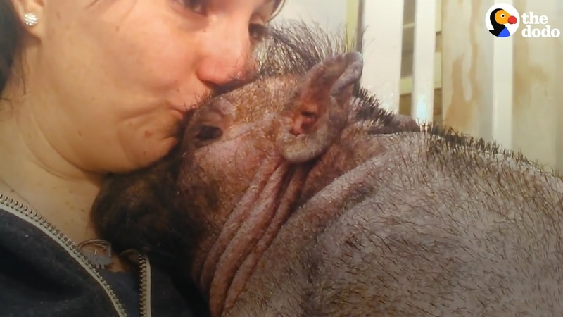 Woman Sings To Comfort Pot-Bellied Pig