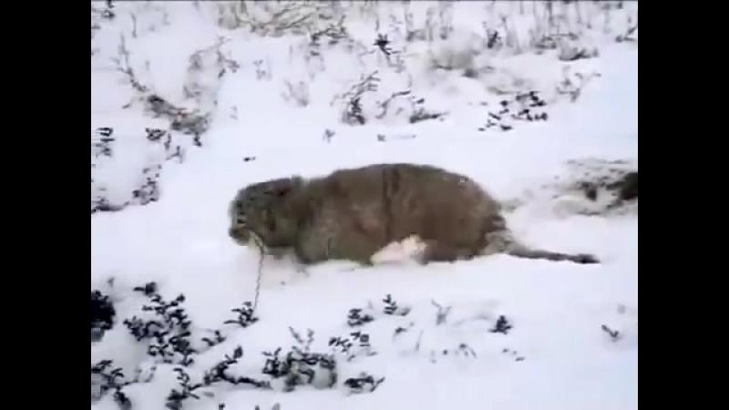 Манул Редкая степная кошка-spian--scscscrp