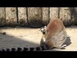 В Московском зоопарке родились кошачьи лемуры