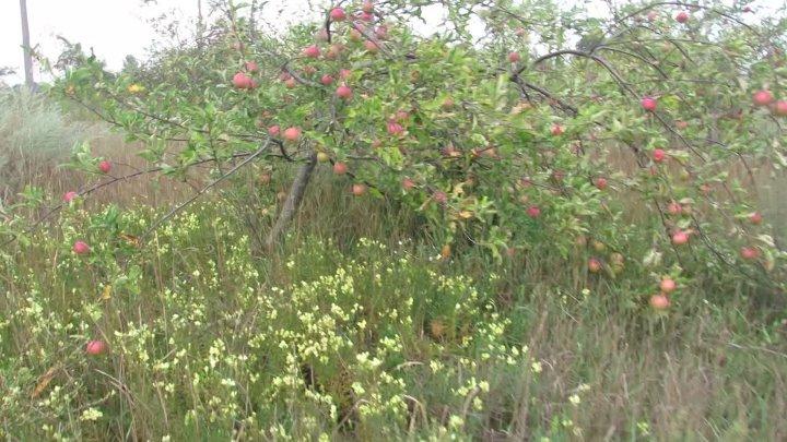 старый сад-ветку яблоня склонила, И на землю опустила. — Очень ноша тяжела! Удержать Я не смогла: Словно заколдованы Яблочки медовые! Все, конечно...