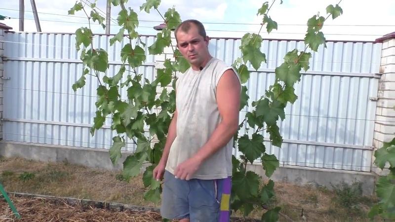 Виноград Вторая подкормка органическим удобрением на основе коровяка