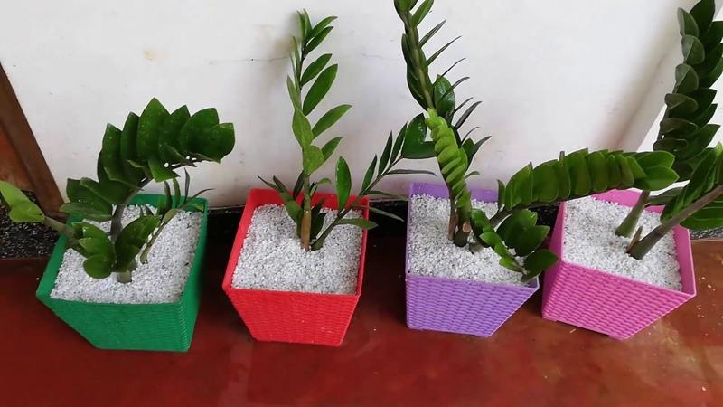 How to repotting zamioculcas zamiifolia (zz plant)