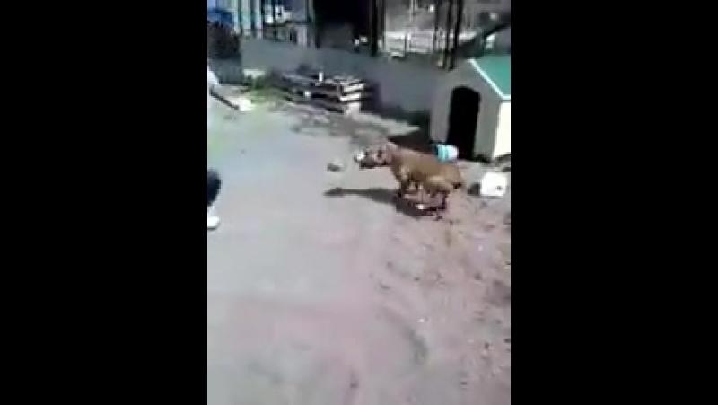Он любил дразнить собак