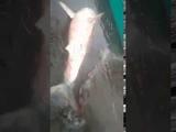 Фейковая акула в Каме