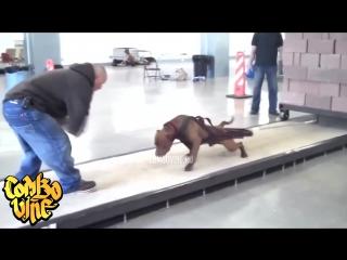 pitbull [V/M]