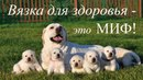 Миф о вязке для здоровья собаки.