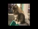 Котячьи нежности. (Республика кошек.Котокафе. Санкт-Петербург.Литейный,60).