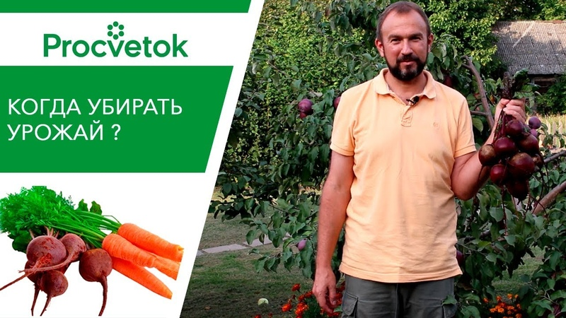 Поспешить или подождать? Морковь и свекла: сроки уборки