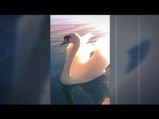 Лебеди на озере Паперня.mp4