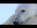 Флирт белой медведицы