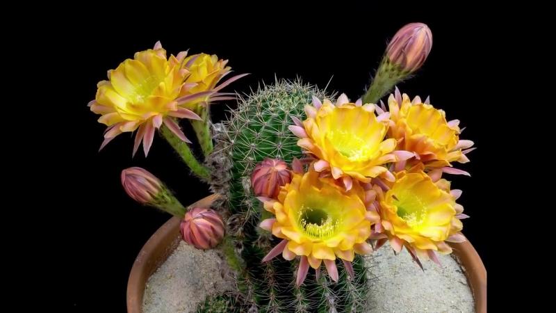 Как цветут кактусы