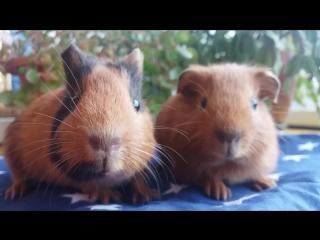 Кроша и золотистый свинёнок (21.11.17)