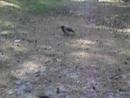 Проделки нашей подруги вороны
